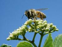 写真:野ぶどうの集まるハチ